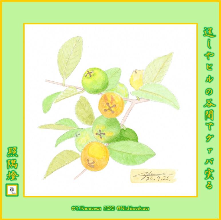 200923黄実の番石榴LRG