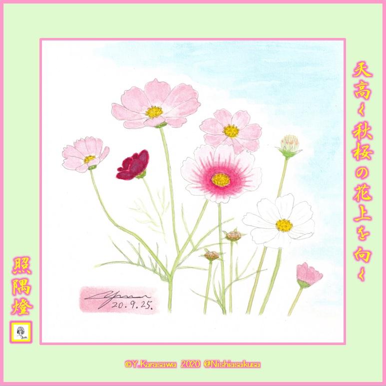 200925秋桜各種LRG