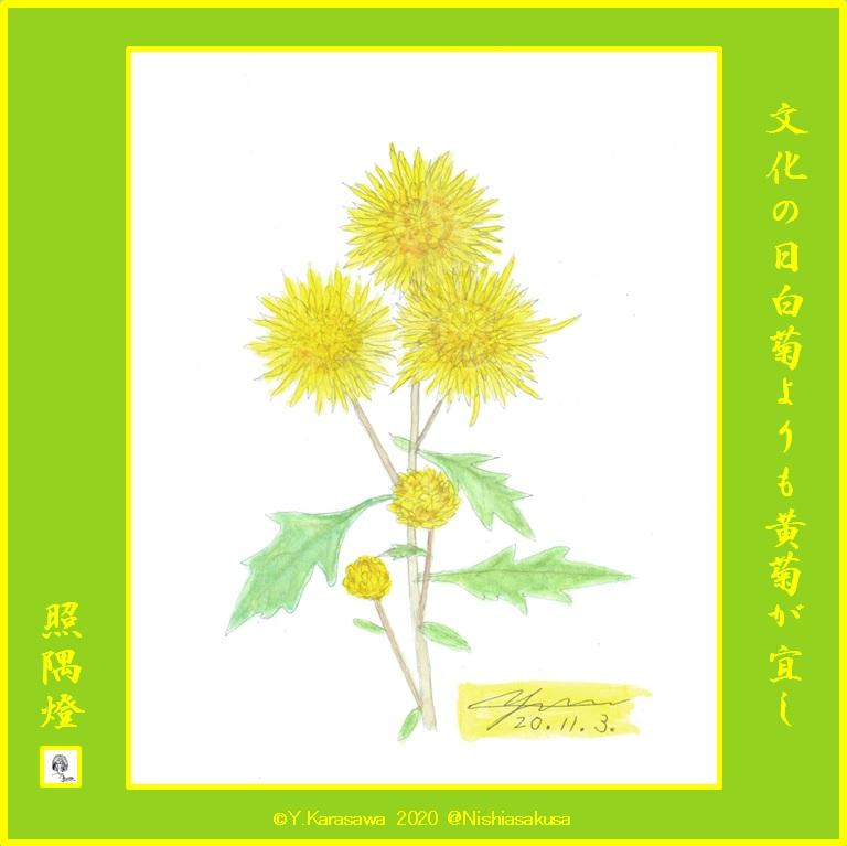 201103中輪黄菊LRG
