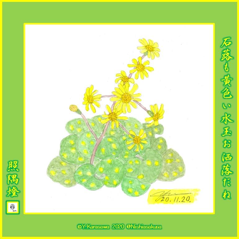 201120斑入り葉の石蕗LRG