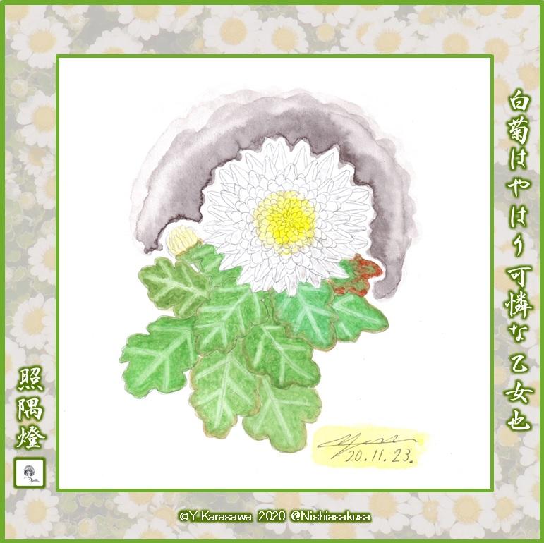 201123中輪白菊LRG