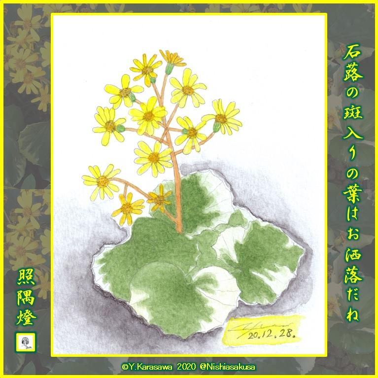 201228斑入り葉の石蕗の花LRG