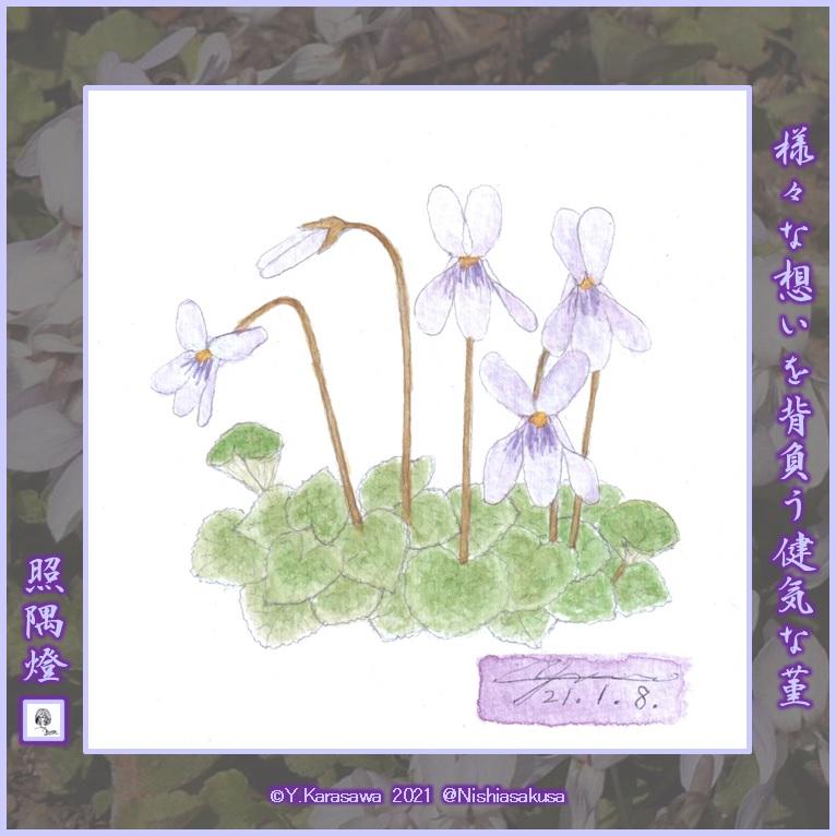 210108薄紫のスミレLRG