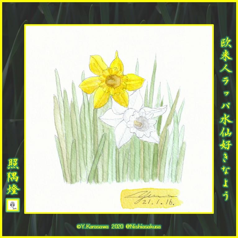 210116ラッパ水仙白と黄LRG