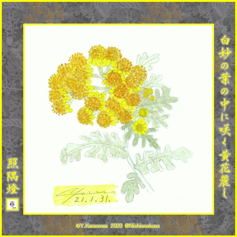210131白妙菊LRG