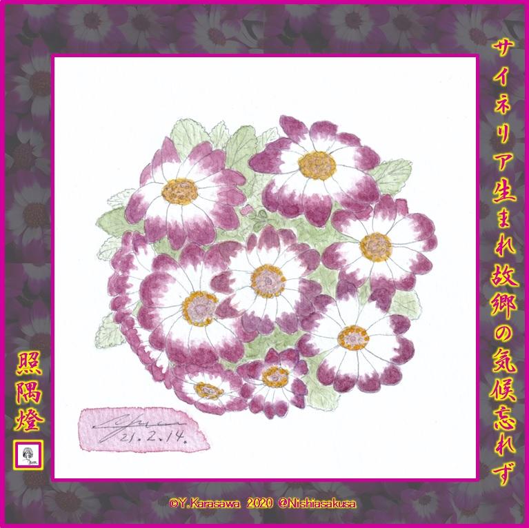 210214サイネリア赤紫白芯LRG