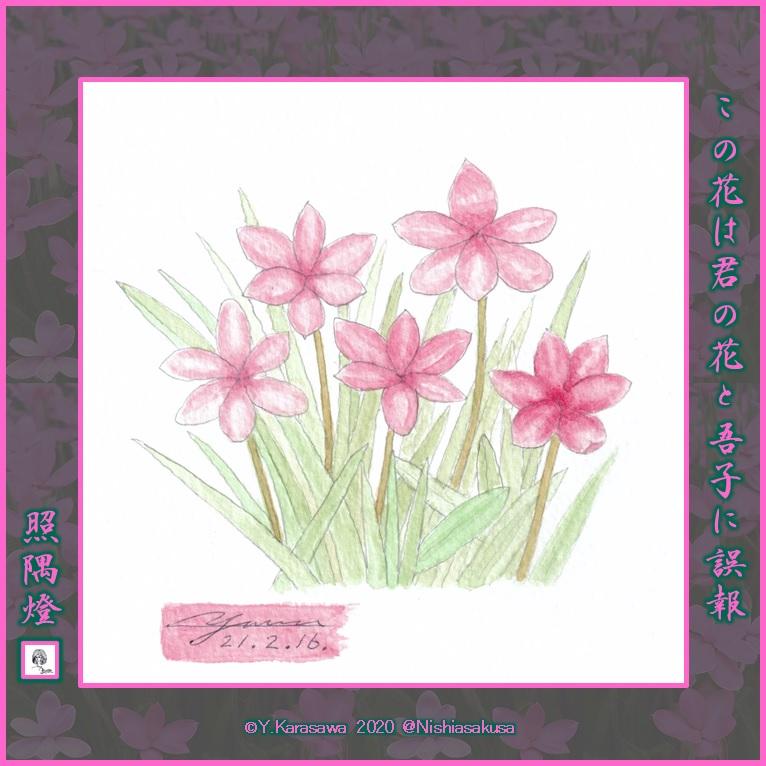 210216アッツ桜LRG