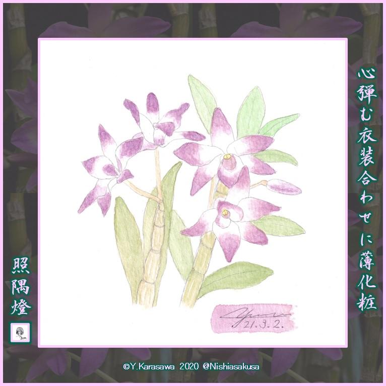 210302デンドロビウム・クレナイ・薄化粧LRG