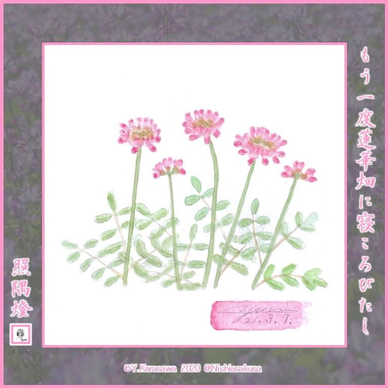 210307蓮華草LRG