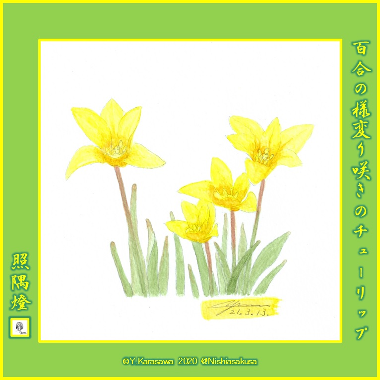 210313ミニチューリップ黄色変り咲LRG
