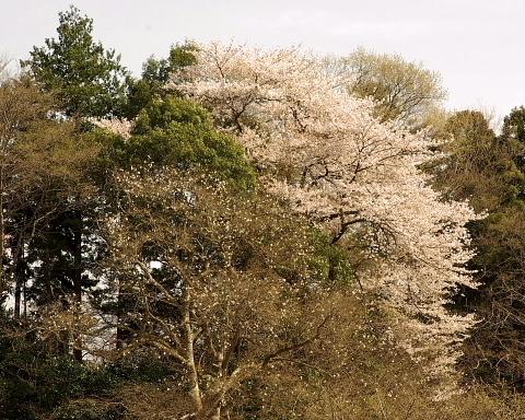 0324辛夷と桜S