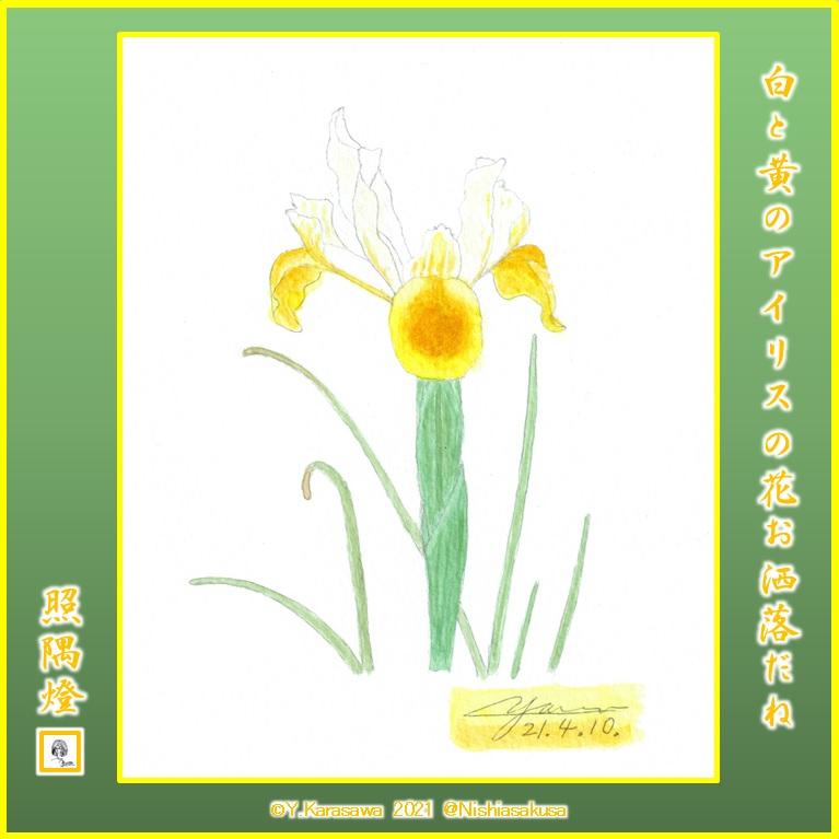 210410白と黄のアイリスLRG