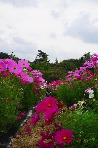 kosumosu (11)