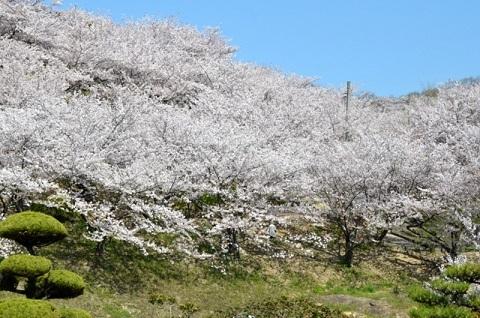 桜6939