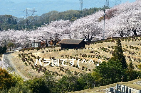 桜6737