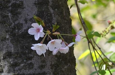 桜_6754-