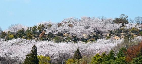 桜_6741