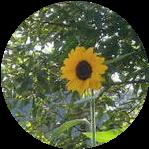 向日葵開花