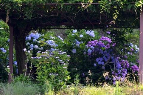 DSC_7760-紫陽花池から