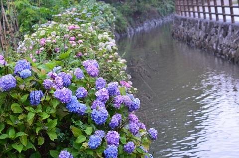 清音紫陽花ロード7659