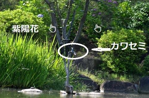 DSC_7794カワセミ紫陽花〇