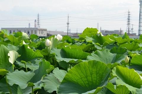 連島レンコン田
