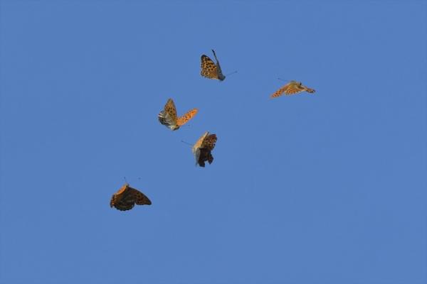 ミドリヒョウモンの飛翔20200805