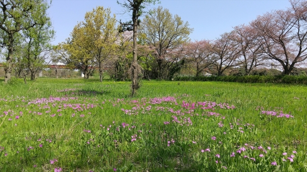 さくら草公園20200409