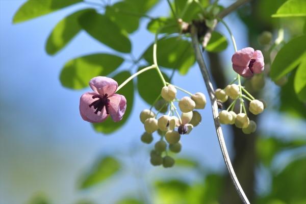 アケビの花20200404-1