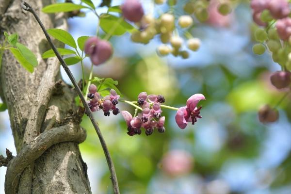 アケビの花20200404-2