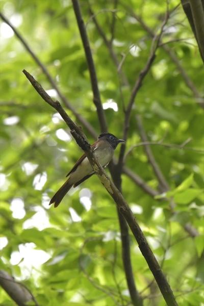 サンコウチョウ♀20200526-2