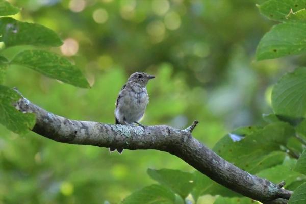 キビタキ幼鳥20200821-1