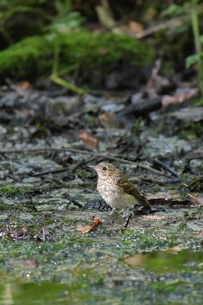キビタキ幼鳥20200821-2