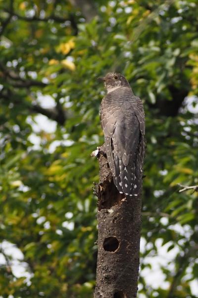 カッコウ幼鳥20201028-1