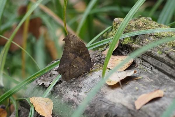 クロコノマチョウ♂(秋型)20201120-1