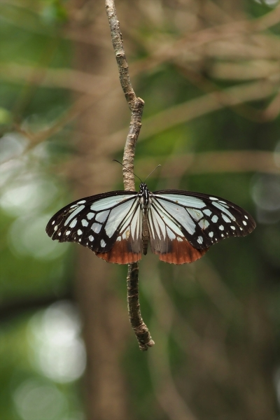 アサギマダラ20201011-2