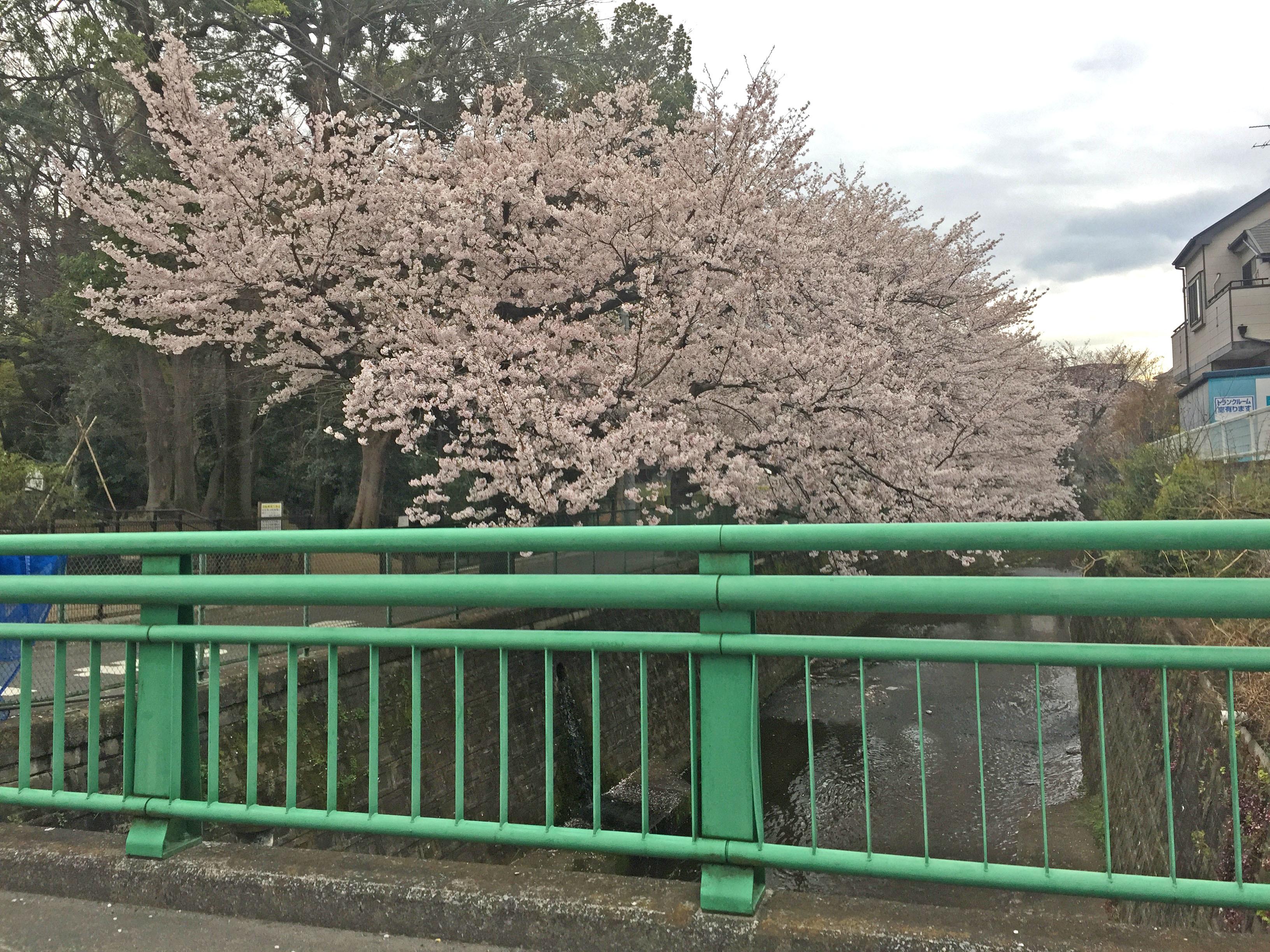 定点観測桜