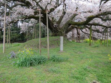 吉高の大桜2