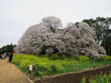 千葉県印西市 吉高の大桜