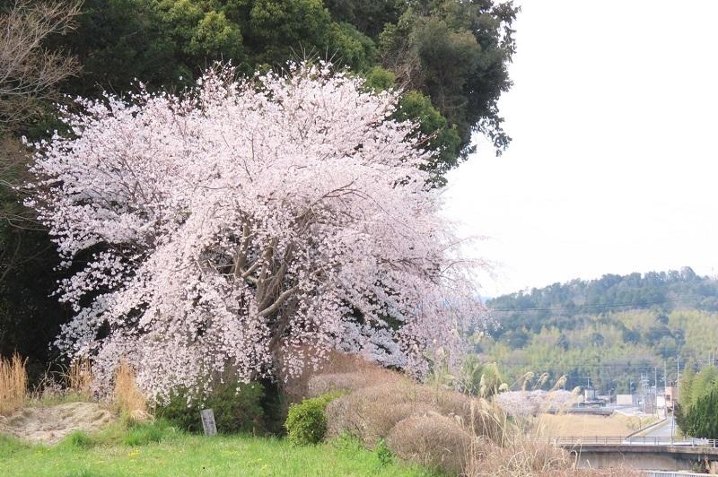 桜(里公園)
