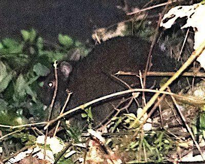奄美大島のアマミノクロウサギ
