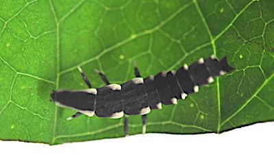 オオシママドボタルの幼虫