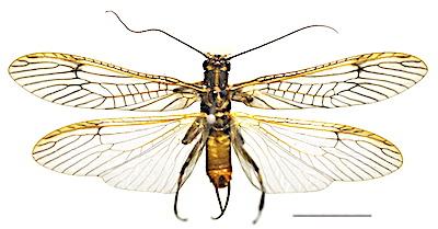 カワゲラ類の成虫