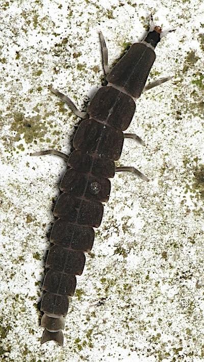 クロマドボタル幼虫の無紋型