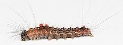 シロオビドクガ若齢幼虫側面