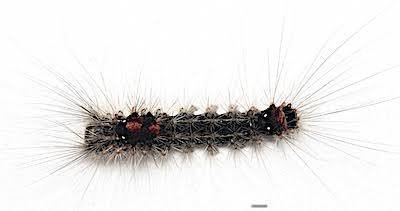 シロオビドクガ中齢幼虫背面