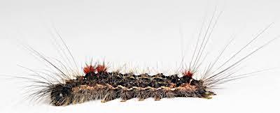 シロオビドクガ中齢幼虫側面