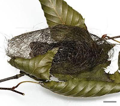シロオビドクガの繭背面