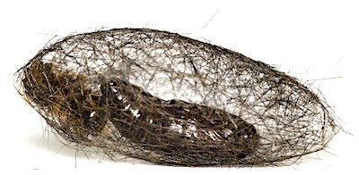 シロオビドクガの繭側面