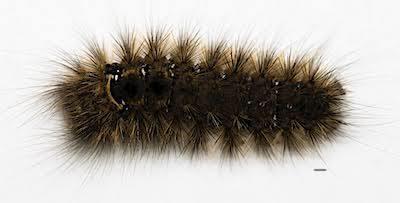 コシロオビドクガの老齢幼虫背面